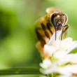 Honey Bee On Clover Flower — Stock Photo