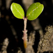 Baby Mangrove Shoot — Stock Photo