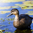 Stock Photo: Pond Duck
