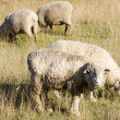 Foto Stock: Sheepish Stare