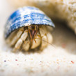 Hiding Hermit Crab - Stock Photo