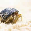 Harry Hermit Crab — Stock Photo