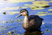 Pond Duck — Stock Photo