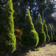 Funeral Cypress Trees — Stock Photo