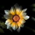 Dark Daisy Flower — Stock Photo