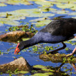 Red Billed Coot — Stock Photo