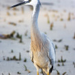 Stock Photo: White Faced Heron