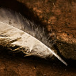 Discarded Feather — Stock Photo