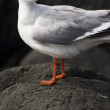 Suprised Australian Seagull - Stock Photo