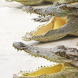 Crocodile Choir — Stock Photo