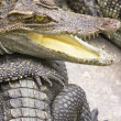 Stock Photo: Group Of Crocodiles