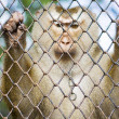 Monkey Behind Bars - Stock Photo