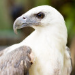 Wild Eagle - Stock Photo