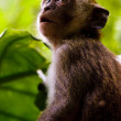Stock Photo: Monkey Awe