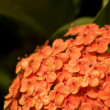 Ixora Flower Cluster - Stock Photo
