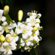 Stock Photo: Orange Jessamine