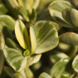 Stock Photo: Jade Plant