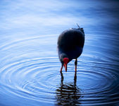 Coot (Native-Hen) — Stock Photo