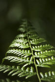 Bracken Fern — Stock Photo