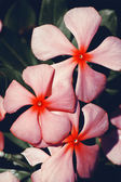 Flowering Pink Periwinkle — Stock Photo