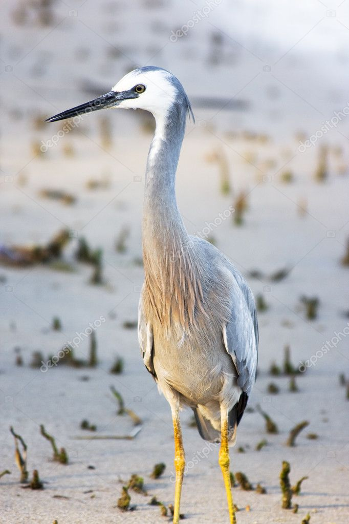 White Faced Heron (Ardea novaehollandiae) Standing At A Heavily Vegetated Coastal Mudflat Location — Stock Photo #10588506