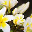 Frangipani - Stock fotografie