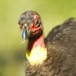 Stock Photo: Brush Scrub Turkey