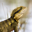 Eastern Water Dragon - Zdjcie stockowe