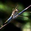 Resting Dragonfly - Stock Photo