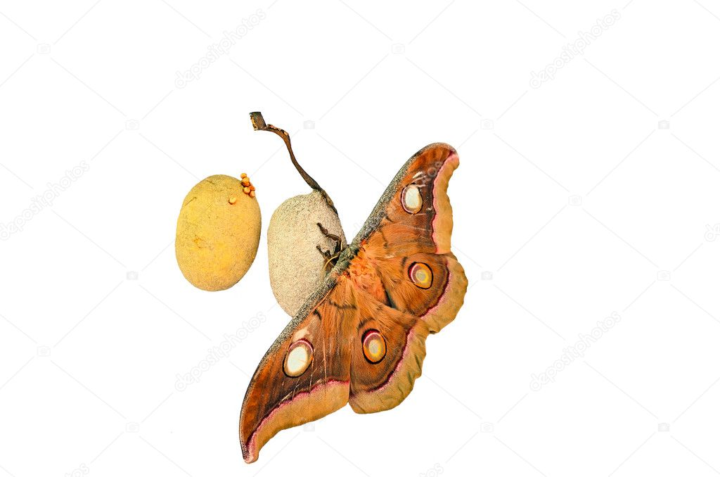 Tusser silk moth / Antheraea mylitta with cocoons and eggs — Stock Photo #9295804