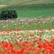 Stock Photo: Flower hills in Castelluccio di Norcia, Italy