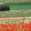 Flower hills in Castelluccio di Norcia, Italy — Stock Photo