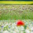 Stock Photo: The flower hills of Castelluccio di Norcia, Italy