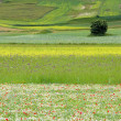 Stock Photo: Flower hills of Castelluccio di Norcia, Italy