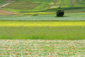 The flower hills of Castelluccio di Norcia, Italy — Stock Photo