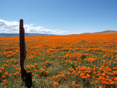 California Poppy Land — Stock Photo