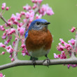 Stock Photo: Eastern Bluebird