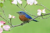 Bluebird with Dogwood flowers — Stock Photo
