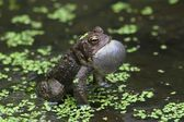 Male American Toad (Bufo americanus) — Stock Photo