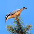 Red-breasted Nuthatch On A Branch — Stok fotoğraf