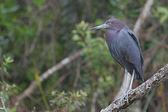 Blaureiher (Egretta caerulea) — Stockfoto