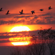 Snow Geese at Sunset — Stock Photo #8299983