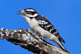 Male Downy Woodpecker (picoides pubescens) — Stock Photo