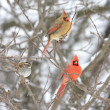 Pair of Northern Cardinals — Stock Photo