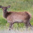 Elk calf (Cervus canadensis) — Stock Photo