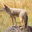 Stock Photo: Western Coyote (Canis latrans)