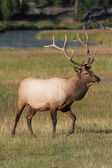 Majestic Bull Elk — Stock Photo
