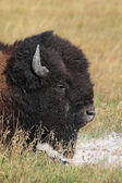 American Bison (Buffalo) Close-up — Stock Photo