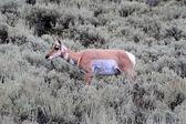 Pronghorn Antelope (Antilocapra americana) — Stock Photo