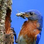 Eastern Bluebird — Stock Photo #9056109